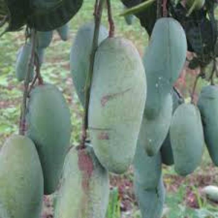 Chuyên cung cấp các loại cây ăn quả,giống xoài thái chất lượng cao6