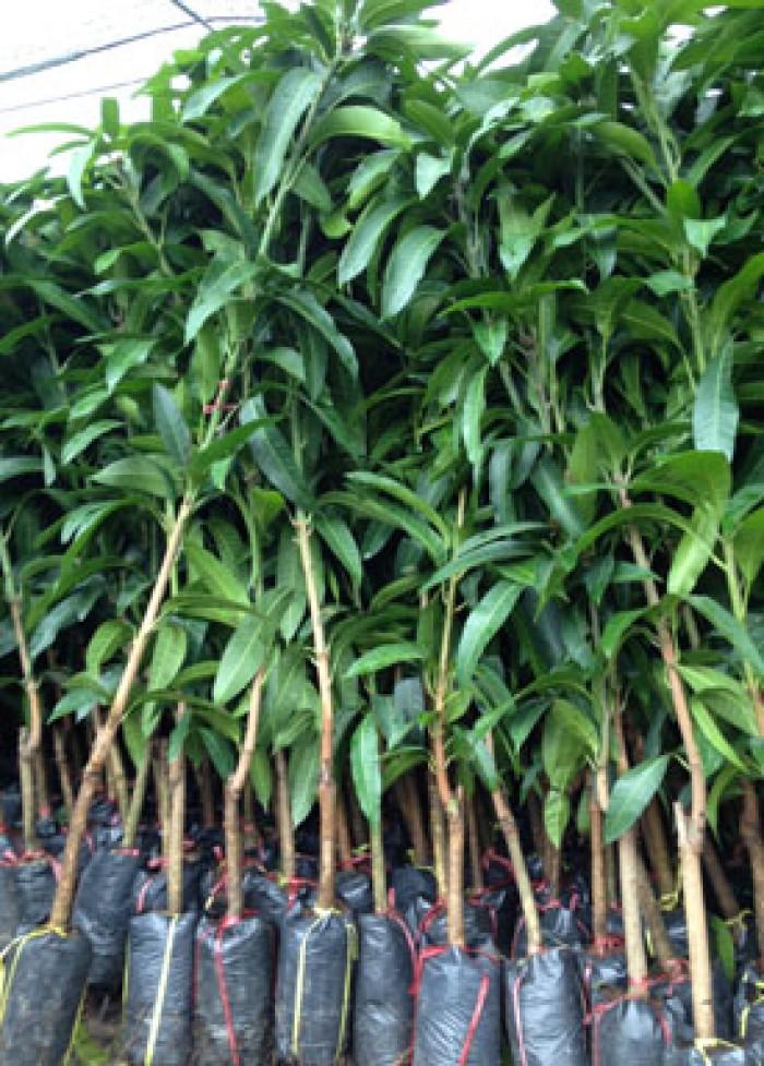 Chuyên cung cấp các loại cây ăn quả,giống xoài thái chất lượng cao1