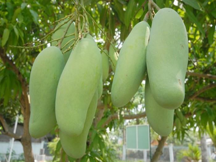 Chuyên cung cấp các loại cây ăn quả,giống xoài thái chất lượng cao2