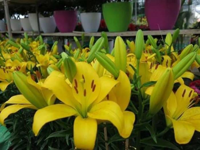Xuất bán củ giống hoa ly phục vụ trồng tết4