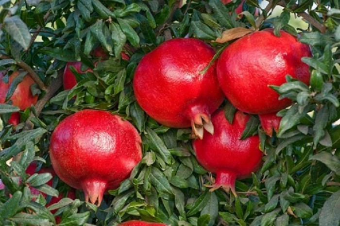 Cung cấp giống cây lựu lùn Ân Độ, lựu lùn đỏ F1, lựu lùn đỏ cao sảnh, cây giống nhập khẩu chất lượng cao1