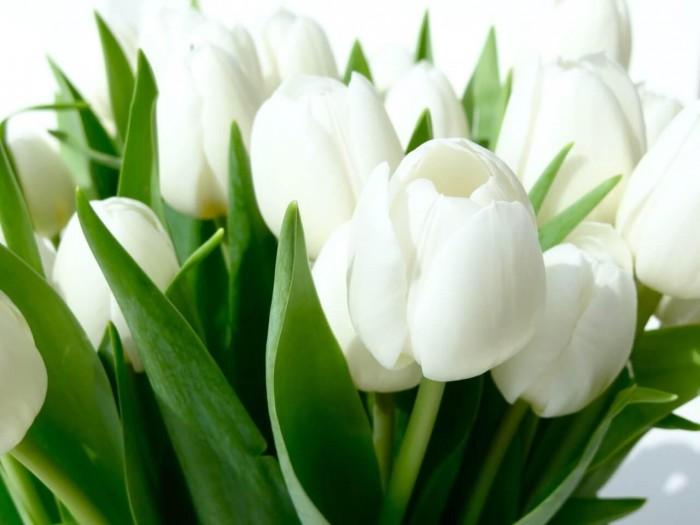 Cung cấp các loại củ giống hoa tuy lip, hoa tulip trồng tết5