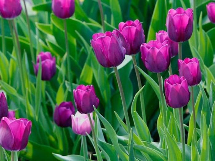 Cung cấp các loại củ giống hoa tuy lip, hoa tulip trồng tết6