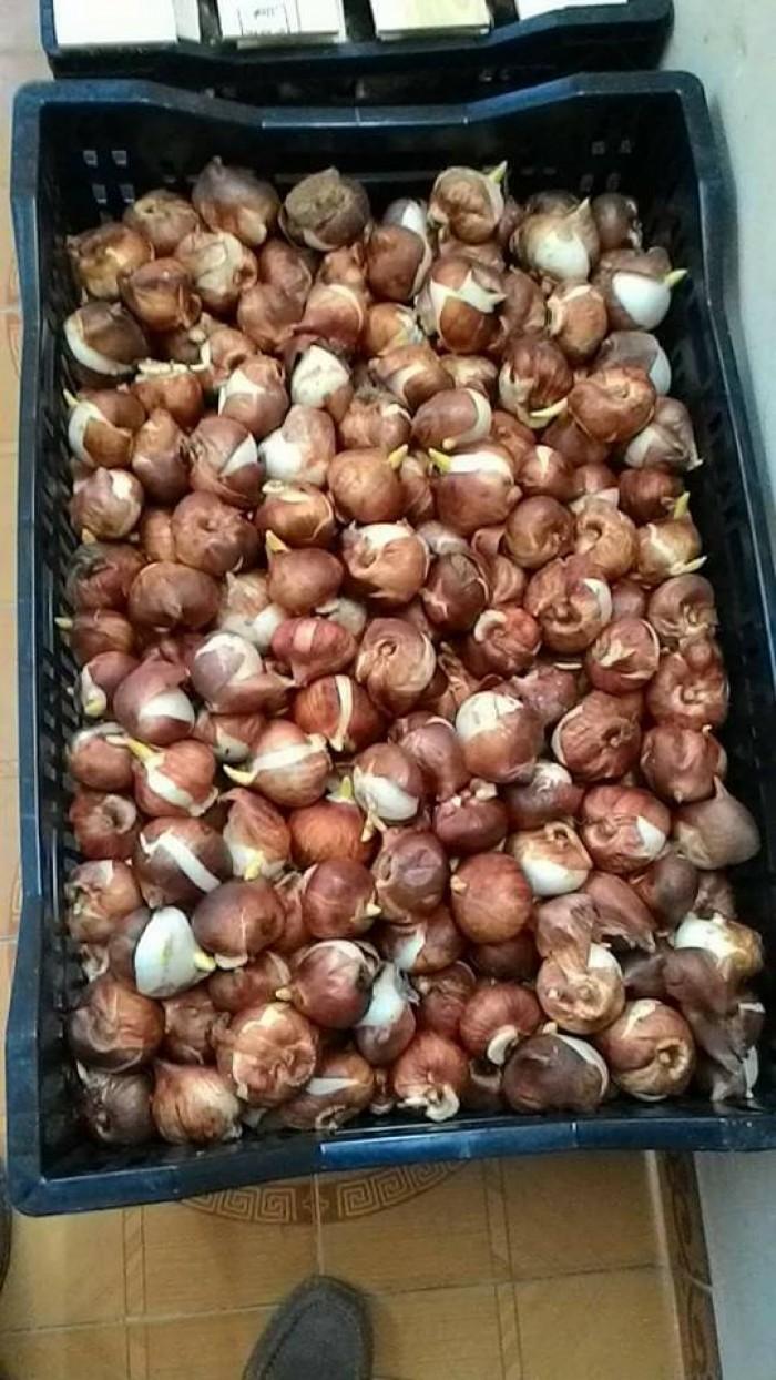 Cung cấp các loại củ giống hoa tuy lip, hoa tulip trồng tết0