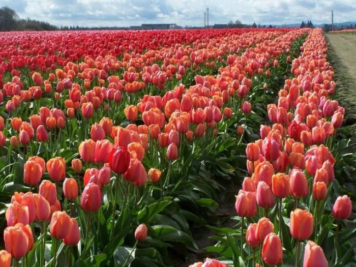Cung cấp các loại củ giống hoa tuy lip, hoa tulip trồng tết3