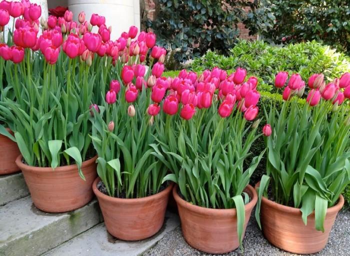 Cung cấp các loại củ giống hoa tuy lip, hoa tulip trồng tết1