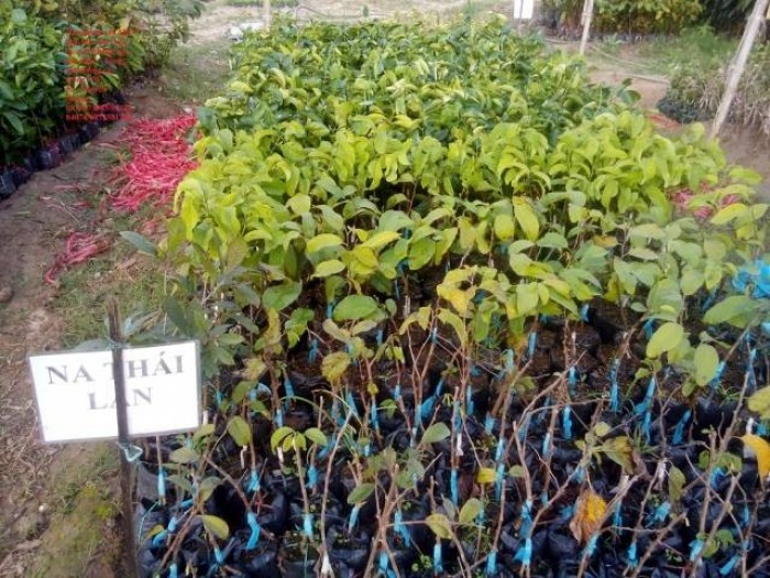 Cung cấp các loại giống cây ăn quả, giống cây na thái chất lượng, giao hàng toàn quốc1