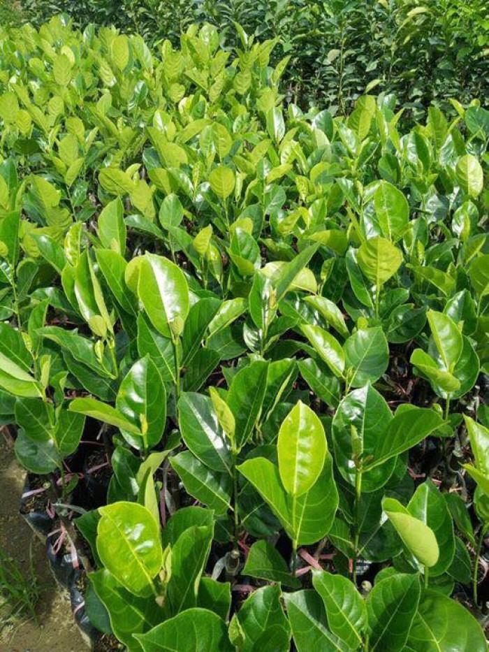 Cung cấp giống cây mít Thái siêu sớm chất lượng cao2