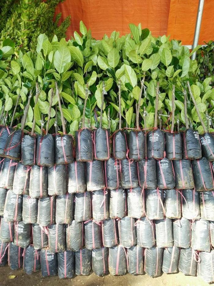 Cung cấp giống cây mít Thái siêu sớm chất lượng cao1