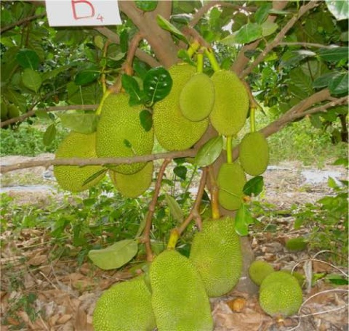 Cung cấp giống cây mít Thái siêu sớm chất lượng cao0