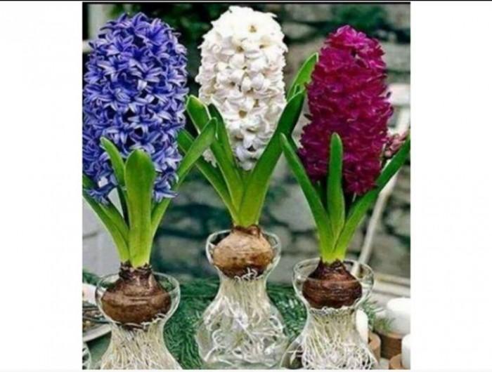 Cung cấp các loại củ giống hoa trồng tết, hoa tiên ông số lượng lớn8