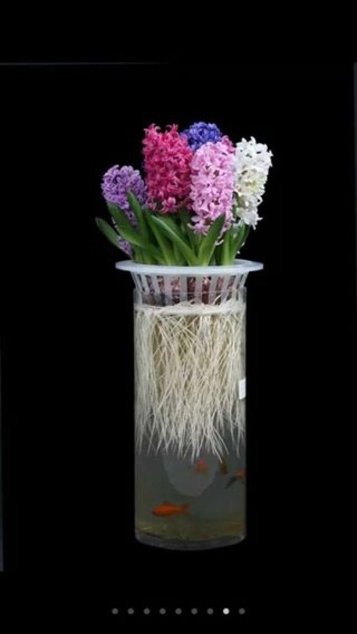 Cung cấp các loại củ giống hoa trồng tết, hoa tiên ông số lượng lớn2