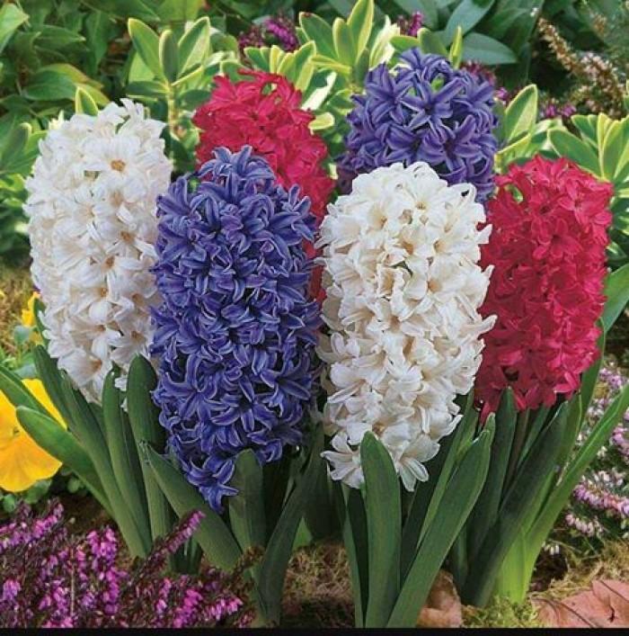 Cung cấp các loại củ giống hoa trồng tết, hoa tiên ông số lượng lớn5