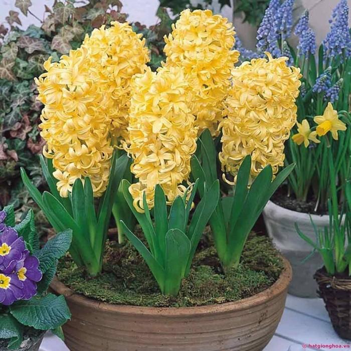 Cung cấp các loại củ giống hoa trồng tết, hoa tiên ông số lượng lớn7