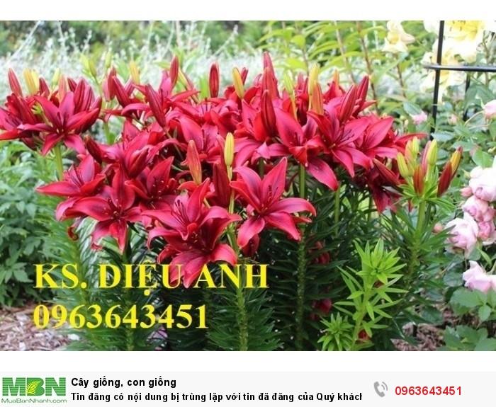 Kĩ thuật trồng và chăm sóc hoa ly lùn, địa chỉ cung cấp củ giống hoa ly lùn, ly lùn không thơm chuẩn, uy tín0