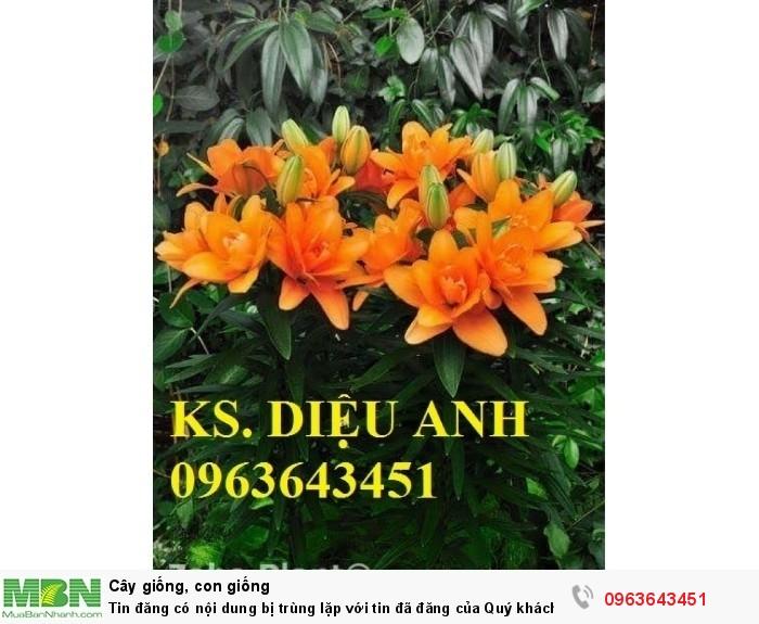 Kĩ thuật trồng và chăm sóc hoa ly lùn, địa chỉ cung cấp củ giống hoa ly lùn, ly lùn không thơm chuẩn, uy tín2