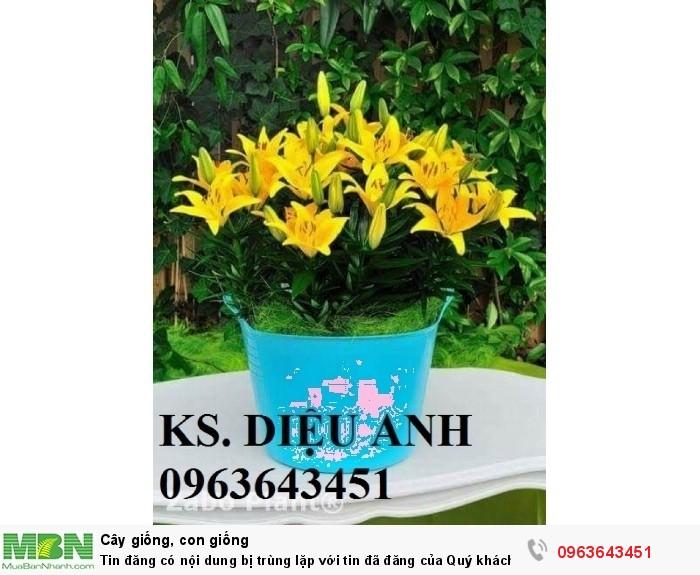 Kĩ thuật trồng và chăm sóc hoa ly lùn, địa chỉ cung cấp củ giống hoa ly lùn, ly lùn không thơm chuẩn, uy tín3