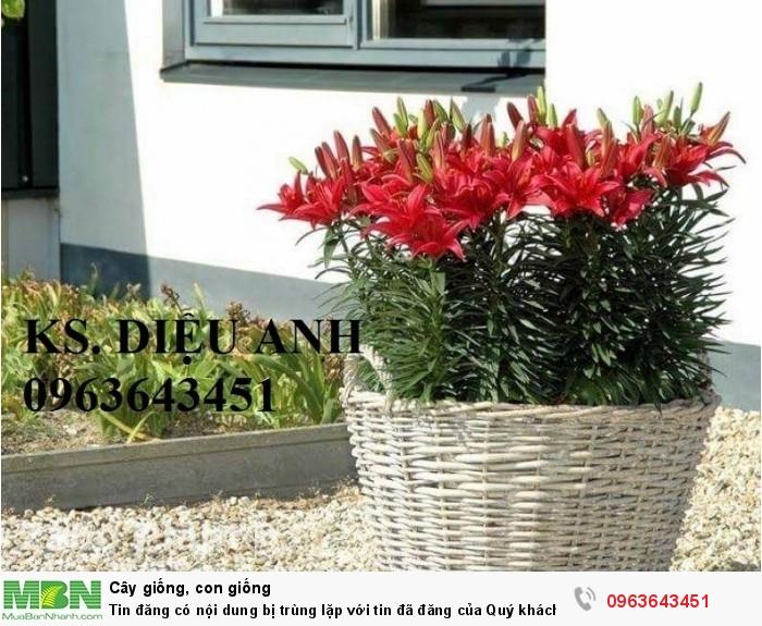 Kĩ thuật trồng và chăm sóc hoa ly lùn, địa chỉ cung cấp củ giống hoa ly lùn, ly lùn không thơm chuẩn, uy tín4