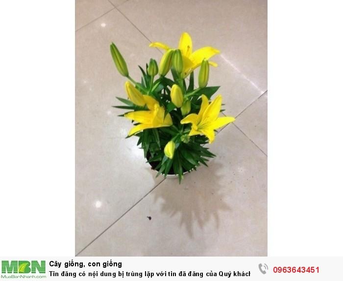 Kĩ thuật trồng và chăm sóc hoa ly lùn, địa chỉ cung cấp củ giống hoa ly lùn, ly lùn không thơm chuẩn, uy tín5