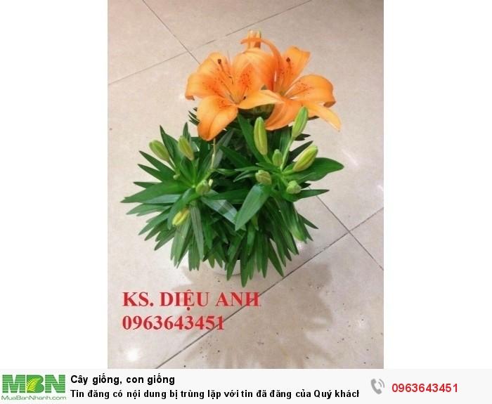 Kĩ thuật trồng và chăm sóc hoa ly lùn, địa chỉ cung cấp củ giống hoa ly lùn, ly lùn không thơm chuẩn, uy tín6