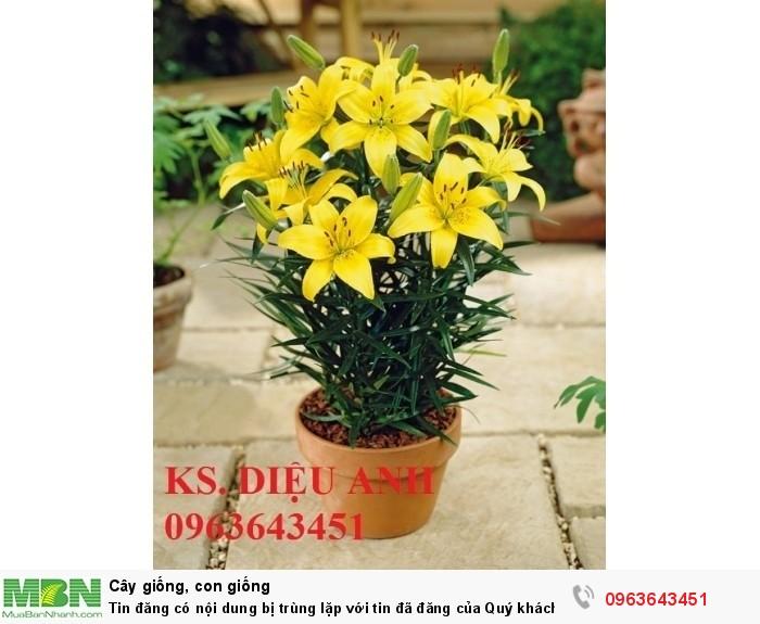 Kĩ thuật trồng và chăm sóc hoa ly lùn, địa chỉ cung cấp củ giống hoa ly lùn, ly lùn không thơm chuẩn, uy tín7