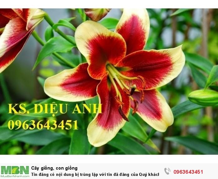 Kĩ thuật trồng và chăm sóc hoa ly lùn, địa chỉ cung cấp củ giống hoa ly lùn, ly lùn không thơm chuẩn, uy tín8
