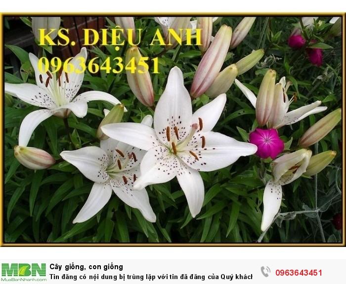 Kĩ thuật trồng và chăm sóc hoa ly lùn, địa chỉ cung cấp củ giống hoa ly lùn, ly lùn không thơm chuẩn, uy tín9