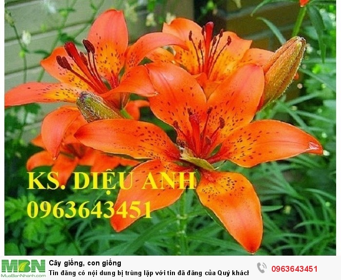 Kĩ thuật trồng và chăm sóc hoa ly lùn, địa chỉ cung cấp củ giống hoa ly lùn, ly lùn không thơm chuẩn, uy tín10