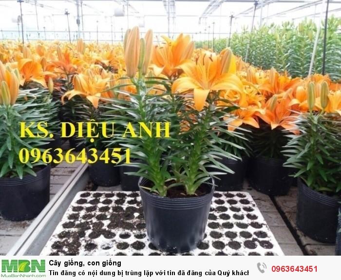 Kĩ thuật trồng và chăm sóc hoa ly lùn, địa chỉ cung cấp củ giống hoa ly lùn, ly lùn không thơm chuẩn, uy tín11
