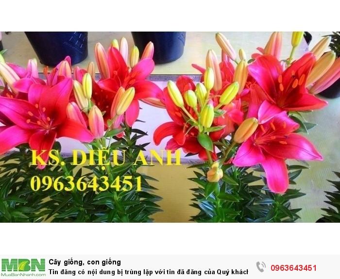 Kĩ thuật trồng và chăm sóc hoa ly lùn, địa chỉ cung cấp củ giống hoa ly lùn, ly lùn không thơm chuẩn, uy tín12