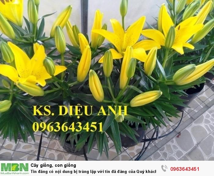Kĩ thuật trồng và chăm sóc hoa ly lùn, địa chỉ cung cấp củ giống hoa ly lùn, ly lùn không thơm chuẩn, uy tín13