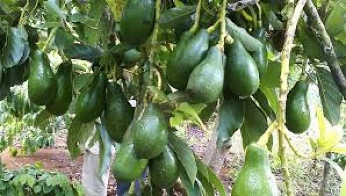 Cung cấp các loại giống cây ăn quả, giống cây bơ sáp số lượng lớn6
