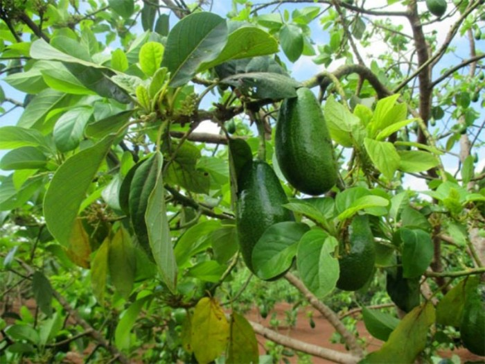 Cung cấp các loại giống cây ăn quả, giống cây bơ sáp số lượng lớn3