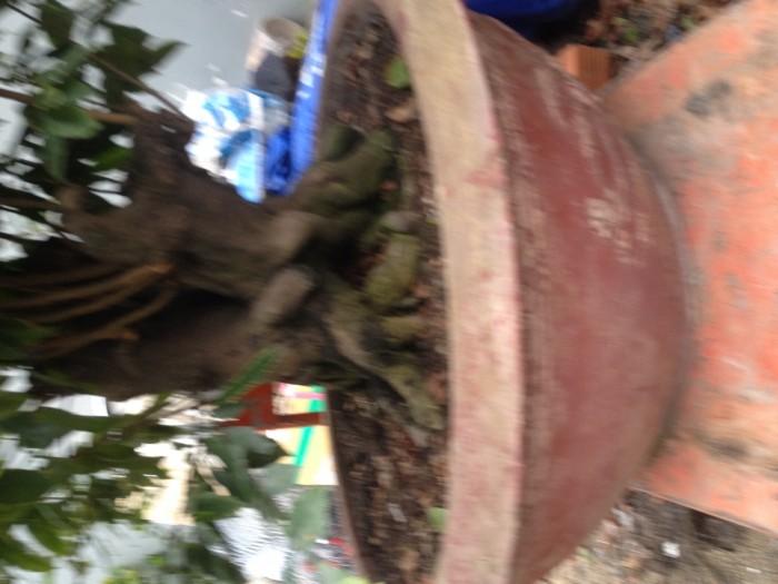 Mai bonsai2