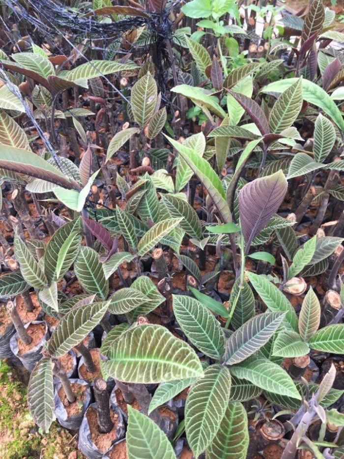 Cung cấp giống cây dược liệu, cây khôi nhung, khôi nhung tía, cây khôi nhung chữa đau dạ dày0