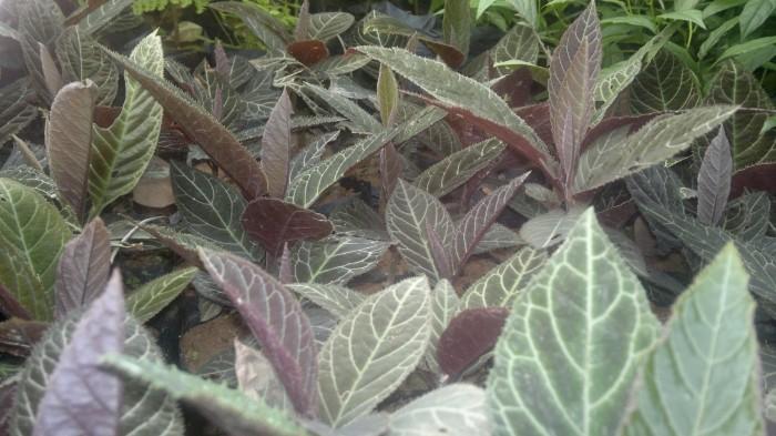 Cung cấp giống cây dược liệu, cây khôi nhung, khôi nhung tía, cây khôi nhung chữa đau dạ dày1
