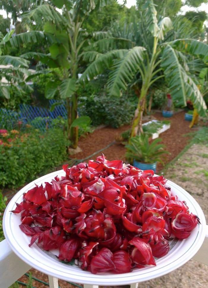 Hoa Atiso đỏ Bình Thuận giá rẻ, tặng dụng cụ lấy hạt2