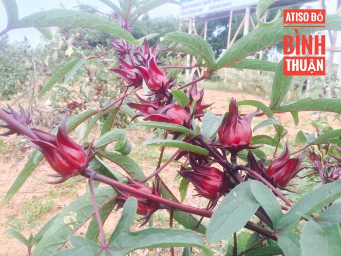 Atiso đỏ-hoa bụp giấm-hoa hibiscus sỉ và lẻ3