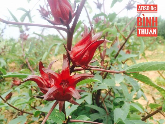 Atiso đỏ-hoa bụp giấm-hoa hibiscus sỉ và lẻ2
