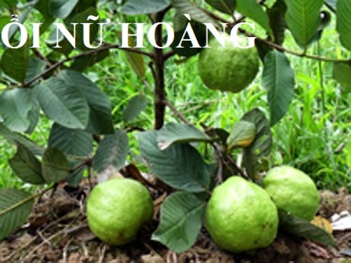 Cung cấp các loại giống cây ổi, ổi lê, ổi nữ hoàng, ổi ruby, ổi không hạt, ổi tím, số lượng lớn, giao hàng toàn quốc3