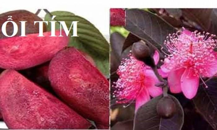 Cung cấp các loại giống cây ổi, ổi lê, ổi nữ hoàng, ổi ruby, ổi không hạt, ổi tím, số lượng lớn, giao hàng toàn quốc0