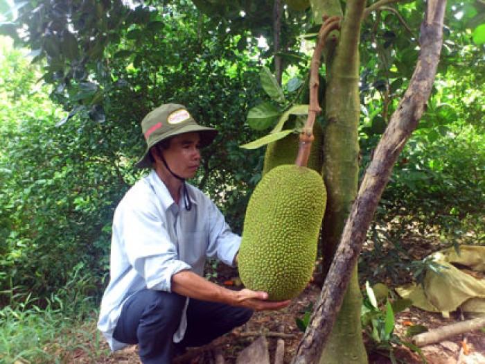 Cung cấp giống cây mít thái số lượng lớn18