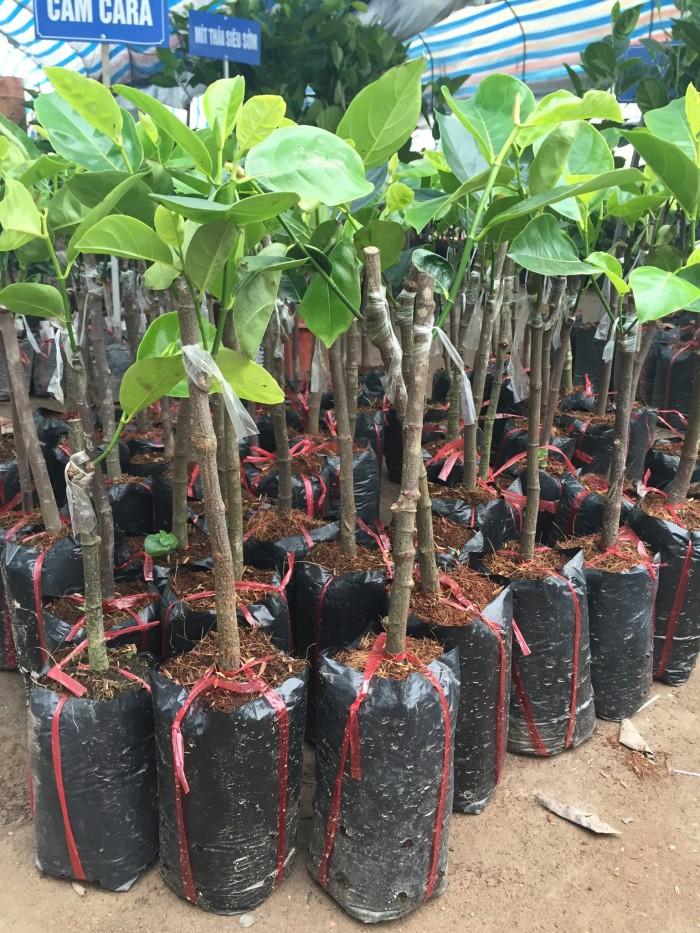 Cung cấp giống cây mít số lượng lớn, giống cây mít thái, mít ruột đỏ, mít không hạt, mít trái dài