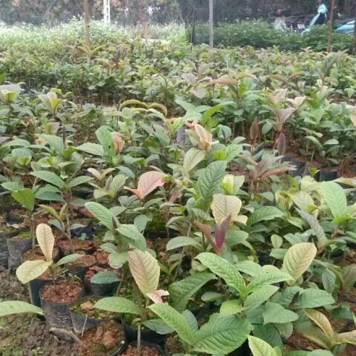 Giống cây trà hoa vàng uy tín, chất lượng4