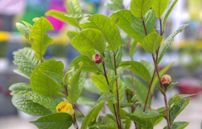 Giống cây trà hoa vàng uy tín, chất lượng6