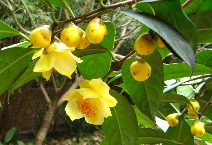 Giống cây trà hoa vàng uy tín, chất lượng0