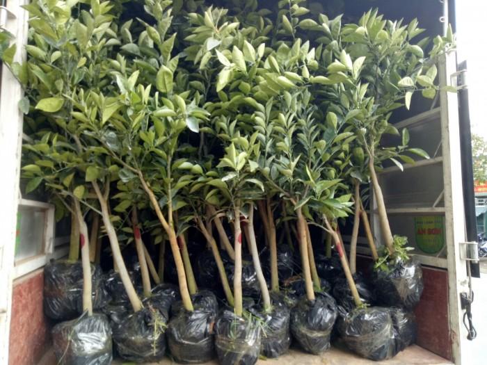Cung cấp cây cam choai, bưởi choai, cóc choai, cây công trình, số lượng lớn, giao hàng choai5
