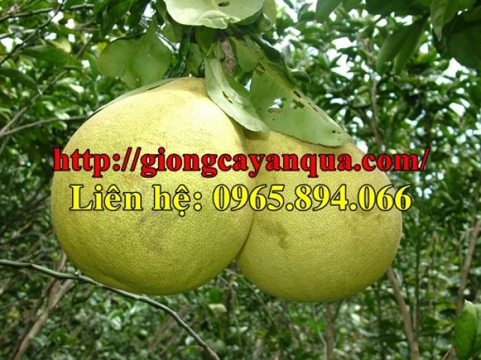 Cung cấp, bán giống Bưởi Hoàng - Đại học Nông nghiệp 1 Hà Nội3