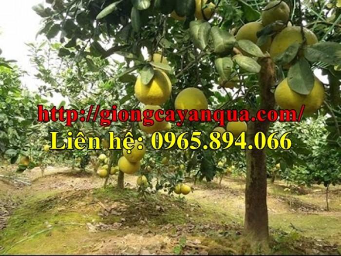 Cung cấp giống Bưởi Đào Chuyên, Bưởi Đào Chuyên Ruột hồng1