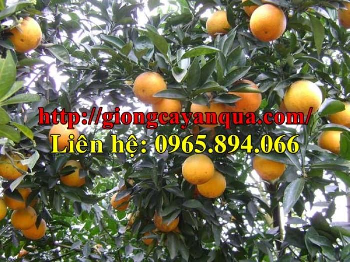 Bán giống cam vinh, giống cam xã đoài lòng vàng, giống vân du, giống cam sông con, giống cam xã đoài3